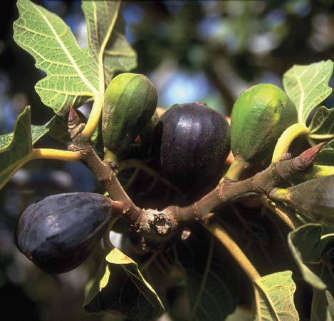Can a fig tree produce olives?