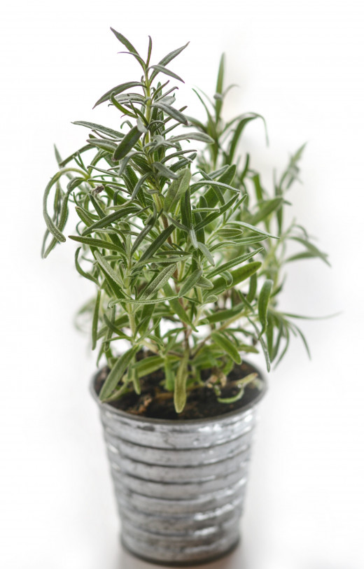 Fresh Rosemary,can be added fresh or dried