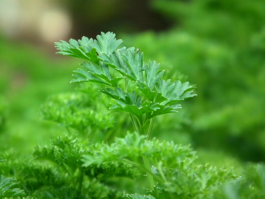 Fresh Parsley, Can Be Eaten Fresh Or Dried