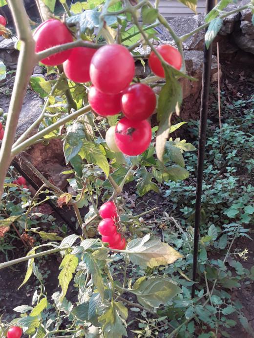 Tiny tomatoes but big juicy taste