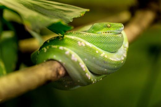 Sharp Nose-Green Mamba