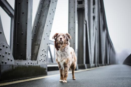 Cute 'dogo' on a bridge