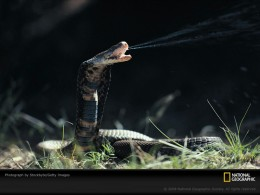 Image Courtesy http://animals.nationalgeographic.com/staticfiles/NGS/Shared/StaticFiles/animals/images/800/Snake%20gallery%20images%20800/mozambique-spitting-cobra-sw.jpg