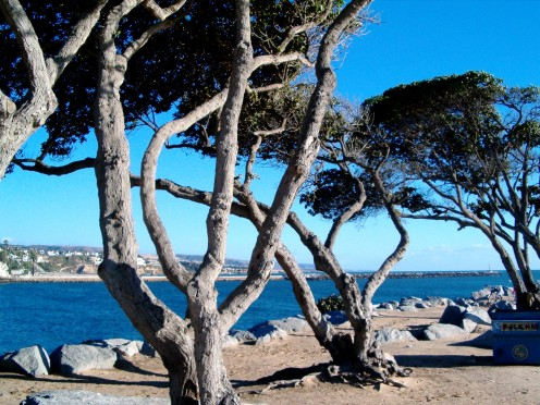 Gnarled trees in Balboa Beach California.