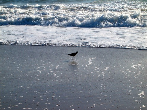 Little bird that seems to be posing for a picture near the waves.