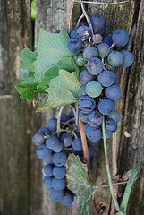 Italian grapes - delicious wines!