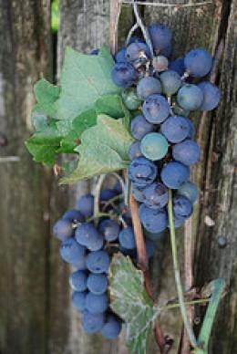 Italian grapes - delicious wines!