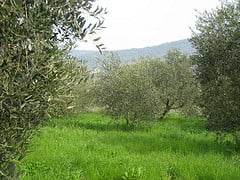 Biella Olive groves.