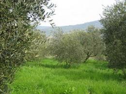 Biella Olive groves.