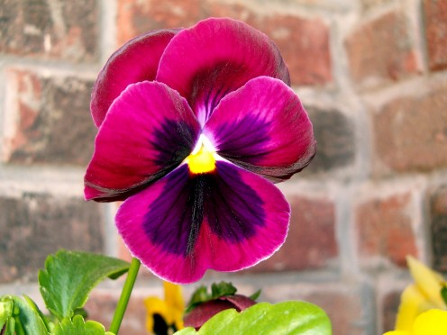 Pansy, from the violaceae family.