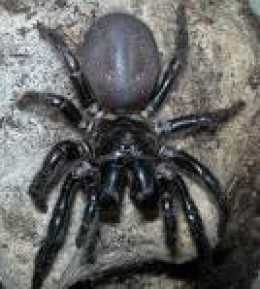 Funnel Web (Aust.) Potentially most deadly because of size:  Non threatening behaviour if left alone in its hole.