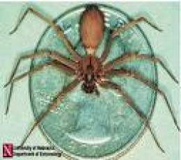 Brown Recluse showing small size.  Very dangerous because of habits and horror-story venom.