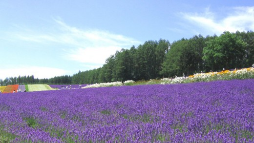 Lavender farm at Kami-Furano