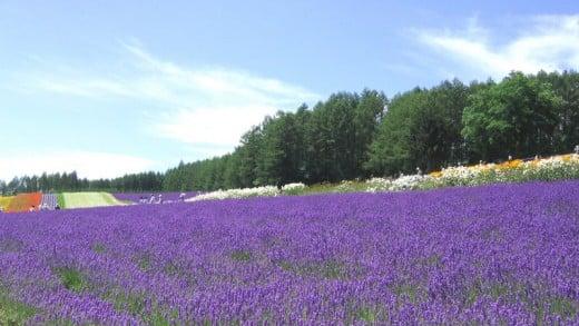 Lavender farm at Kami-Furano