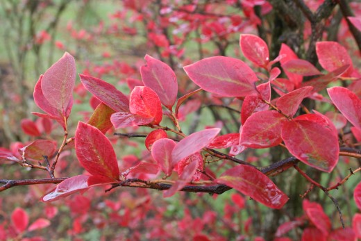 Autumn blueberry bush.  Photo by Joy Prescott at dreamstime.com.