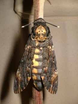 Death's Head Hawk Moth (Acherontia atropos)
