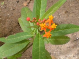Tropical or Scarlet Milkweed