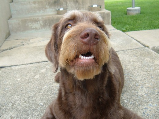 """Photo by Connie Daniele of an adorable """"labradoodle"""" dog"""