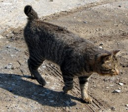 Tail-less cat (Photo from fotki.com)