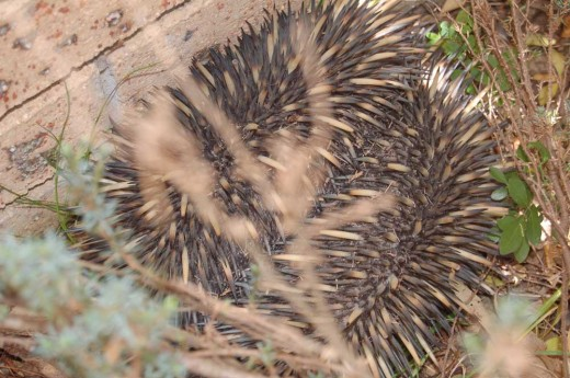 Our dog found something interesting under our kitchen window. At a glance I knew it was an echidna but didn't realise it until after I viewed the photos that it was in fact TWO echidnas!
