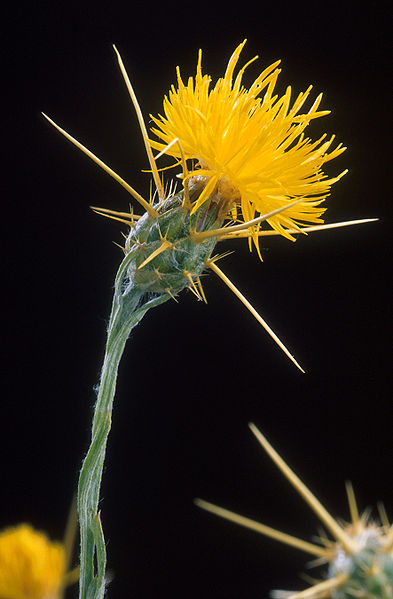 An evil yellow star thistle just waiting to take over your lawn.