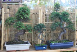 This vendor has a good selection of rare and favorite types of Bonsai.