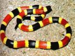 "venomous coral snake.  Note ""red on yellow"" rings    ocampusrichmond.edu credit"