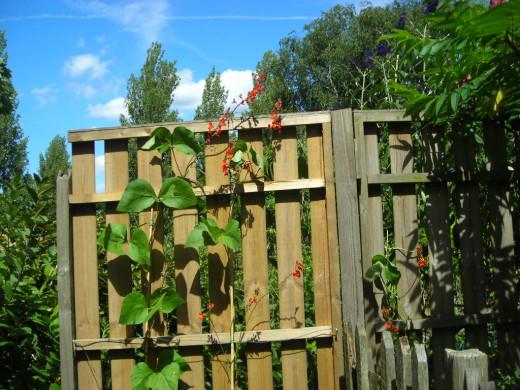 Runner Beans Growing up my Garden Fence