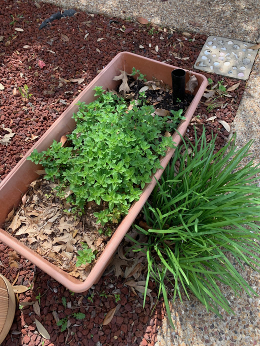 EarthBox with oregano growing strong