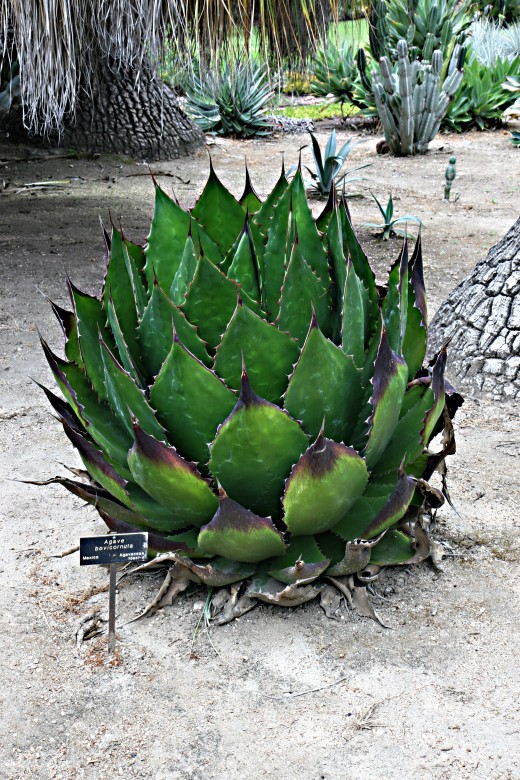 This is the agave plant, the plant Tequila is made of.