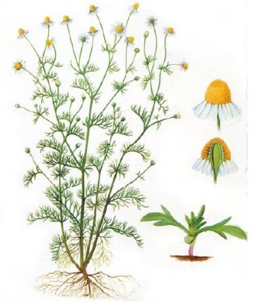 Matricaria Chamomilla; more commonly know as Scented Mayweed.