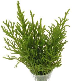Lycopodium, usually available year round