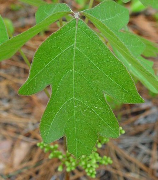 Rhus toxicodendron; a type of poison ivy.