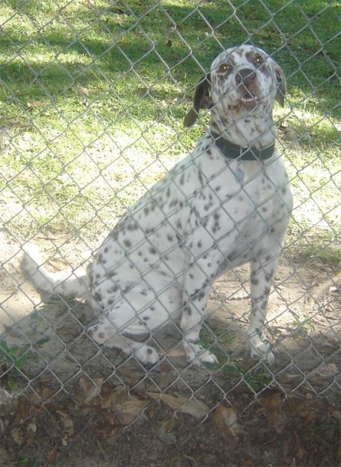 Liver Spotted Dalmatian