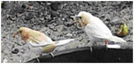 Bengalese Pair of Finches