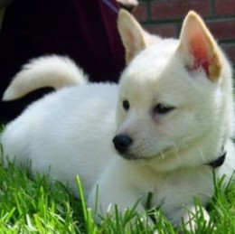 All White Shiba Inu Puppy