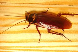 The Cockroach. Not a beetle not a bug but kin to both      credit wiki.com