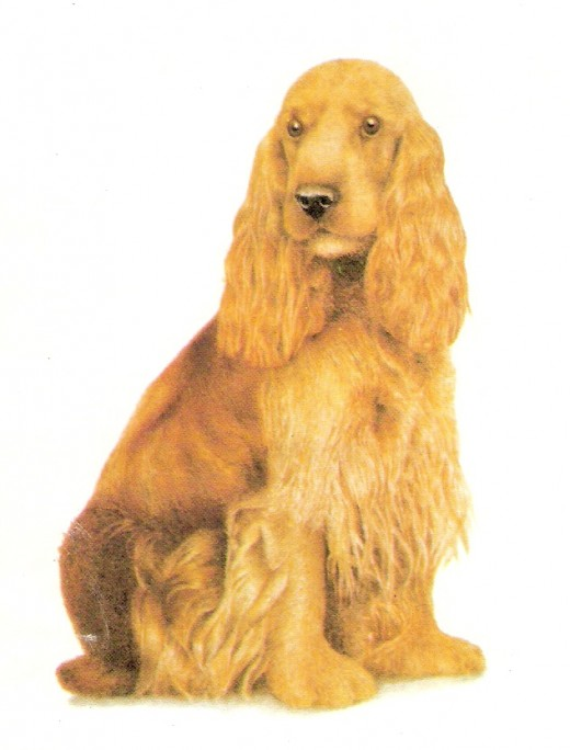 A Golden Cocker Spaniel