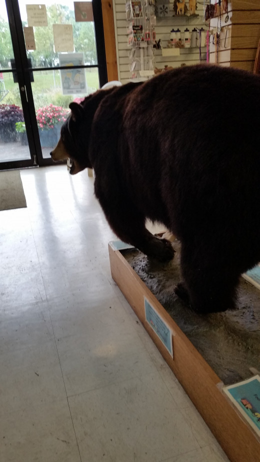 This bear is in the lobby/store at the Front Royal RV Campground.