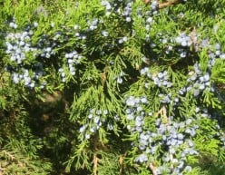Juniper oil: aromatherapy, health benefits and uses of juniper essential oil