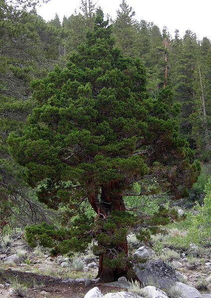 Juniperus occidentalis var. australis, growing in California. This image is in the public domain.