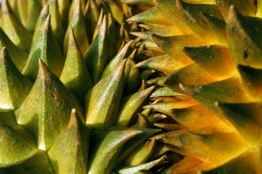 The sharp thorns of the Durian