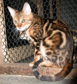 Bengal Cat Hubpages