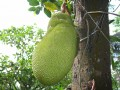 The Jackfruit: The Jack of All Fruits