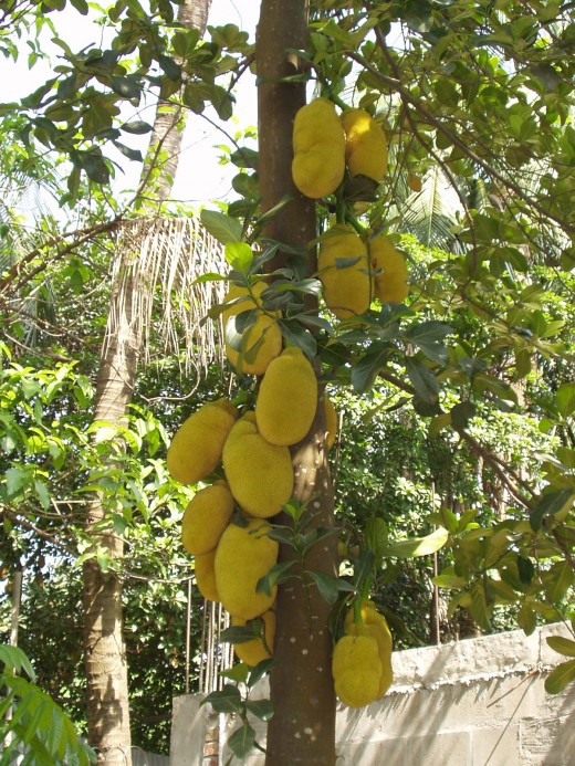 A Healthy Jackfruit Tree