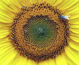 The Golden Ratio is found in nature