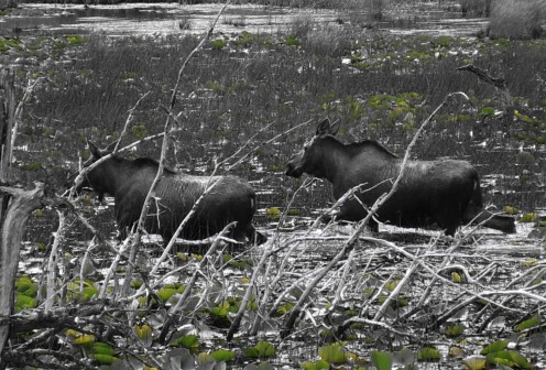 The Moose, they go any where they want