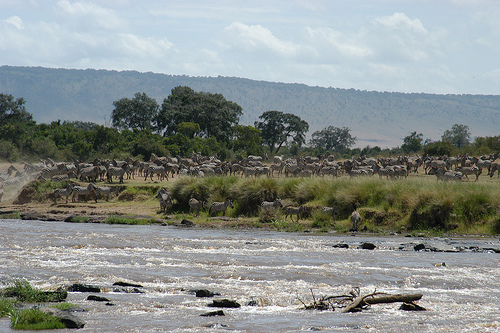 Immense Migration of Wild Animals Crosses the Mara River