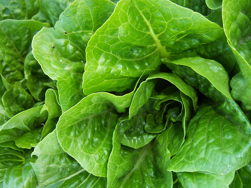Romaine lettuce is an excellent source of dietary fiber. Photo by Lawrence Farmers Market @ Flickr.