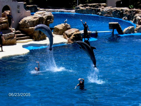 Dolphins jumping, doing tricks in the pool with their trainers.